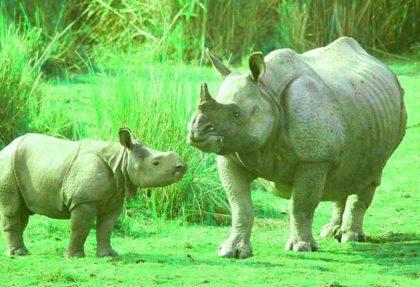 Kaziranaga One Horned Rhino